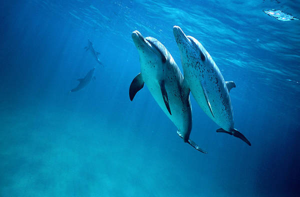 Underwater Art Print featuring the photograph Atlantic Spotted Dolphins, Stenella by Tobias Bernhard
