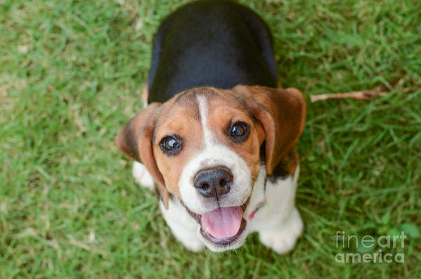 Small Art Print featuring the photograph Beagle Puppy Sitting On Green Grass by Mr.es