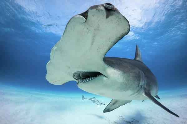 Shark Art Print featuring the photograph Hammerhead Shark by Markus Hermannsdorfer
