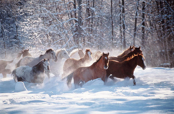Horse Art Print featuring the photograph Horses Equus Caballus Running In Snow by Art Wolfe