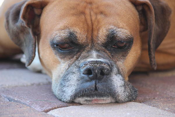 Boxer Art Print featuring the photograph Sad Boxer by John Greco