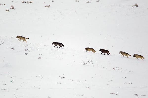 Yellowstone National Park Art Print featuring the photograph 06 Female Leading The Pack by Keith R Crowley
