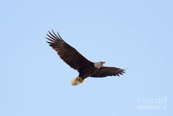Eagle Art Print featuring the photograph Bald Eagle Calling by Lori Tordsen