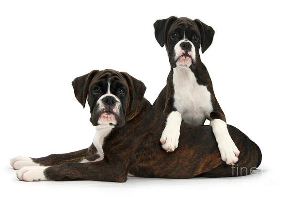 Nature Art Print featuring the photograph Boxer Pups by Mark Taylor