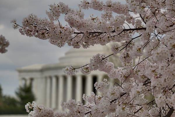 America Art Print featuring the photograph Cherry Blossoms With Jefferson Memorial - Washington Dc - 01134 by DC Photographer