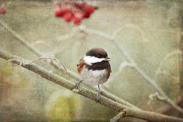 Chickadee Art Print featuring the photograph Chickadee In Winter by Peggy Collins
