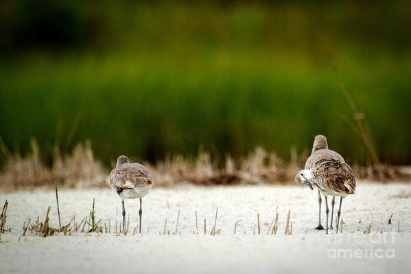 Sandpiper Pictures Art Print featuring the photograph Curious Sandpiper by Amy Bish