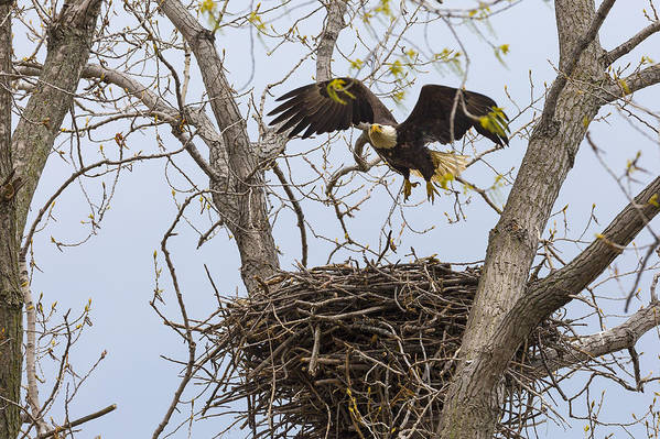 Adult Art Print featuring the photograph Eagle Nest by Jack R Perry