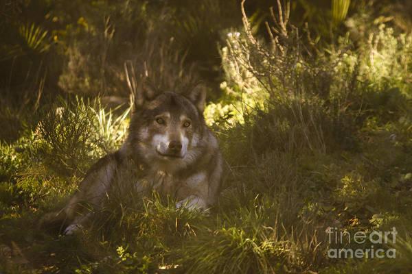Lobo Park Art Print featuring the photograph European Wolf by Angel Tarantella