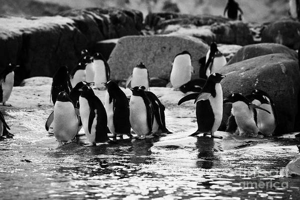 Gentoo Art Print featuring the photograph Gentoo Penguins On Rocky Shoreline On Port Lockroy Antarctica by Joe Fox
