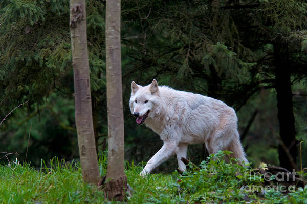 Nature Art Print featuring the photograph Gray Wolf White Morph by Mark Newman
