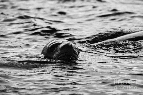 Leopard Art Print featuring the photograph leopard seal peaking and breathing above water Antarctica by Joe Fox