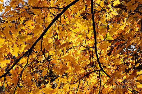 Autumn Art Print featuring the photograph Maple Tree In Yellow Fall Colors by Jannis Werner