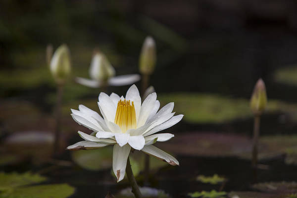 Water Lilly Print featuring the photograph Water Lilly 6 by Charles Warren