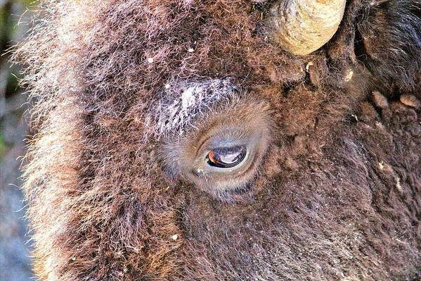 Hdr Art Print featuring the photograph Yellowstone Bison by Bob Kinnison