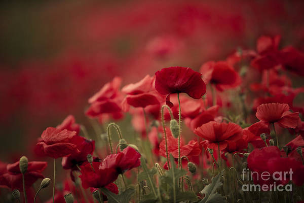 Poppy Art Print featuring the photograph Red by Nailia Schwarz