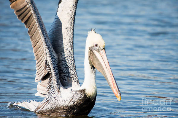 Brown Pelican Art Print featuring the photograph Brown Pelican by Michael McStamp