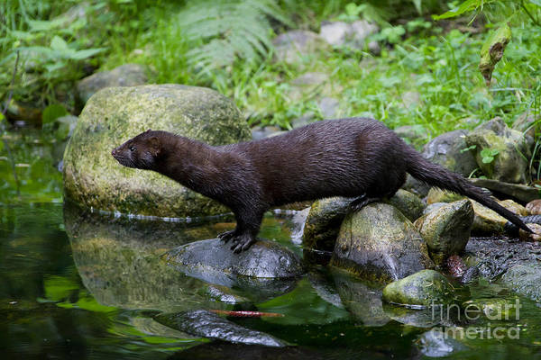 American Mink Art Print featuring the photograph 121213p013 by Arterra Picture Library