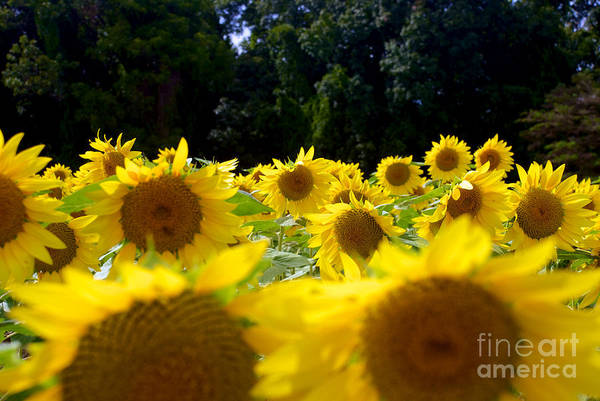 Clear Art Print featuring the photograph Sunflower by Mark Dodd
