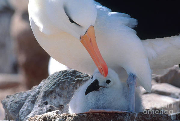 Fauna Art Print featuring the photograph Black-browed Albatross With Chick by Art Wolfe