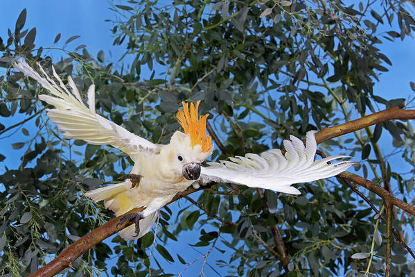 Adult Art Print featuring the photograph Cacatoes A Huppe Orange Cacatua by Gerard Lacz
