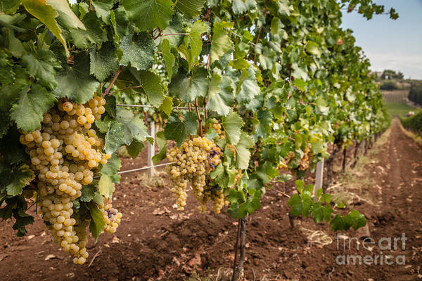 Europe Art Print featuring the photograph Close Up Of Ripe Wine Grapes On The Vine Ready For Harvesting by Peter Noyce