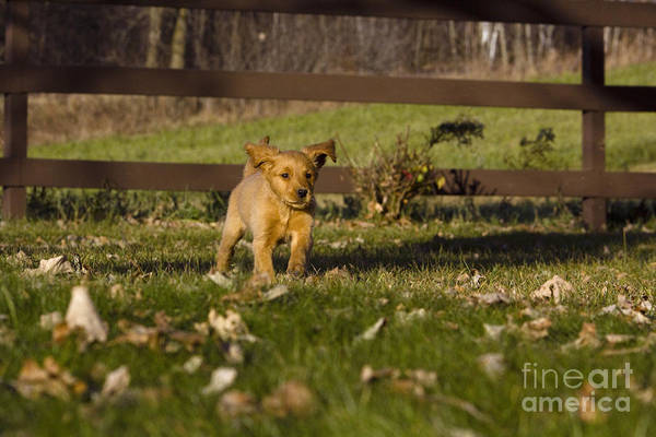 Adorable Art Print featuring the photograph Golden Retriever Pup by Linda Freshwaters Arndt