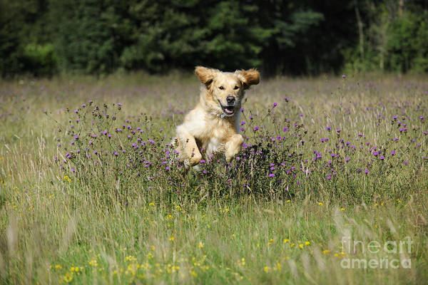 Golden Retriever Print featuring the photograph Golden Retriever Running by John Daniels