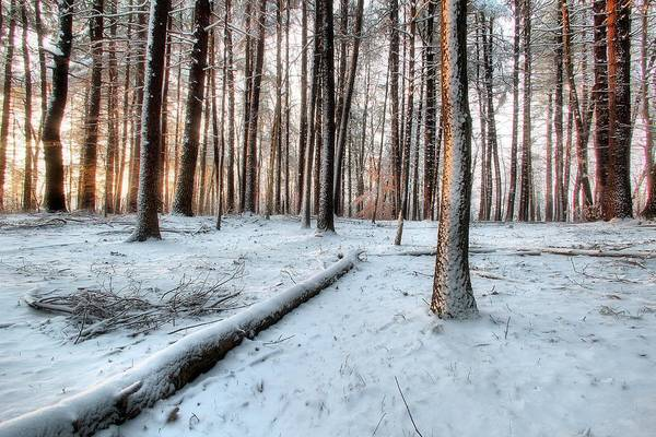 Pine Trees Art Print featuring the photograph Morning Sun by Andrea Galiffi