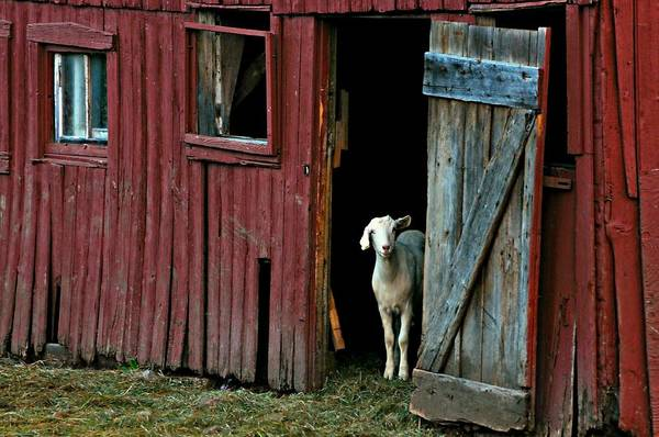 Barn Art Print featuring the photograph My Little Friend by Diana Angstadt