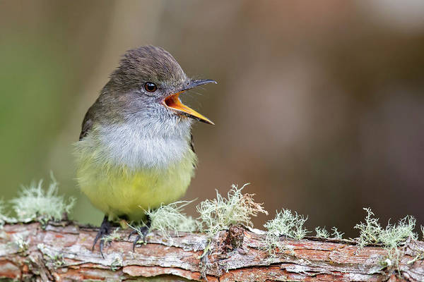 Bird Art Print featuring the photograph Pale-edged Flycatcher by Juan Jose Arango