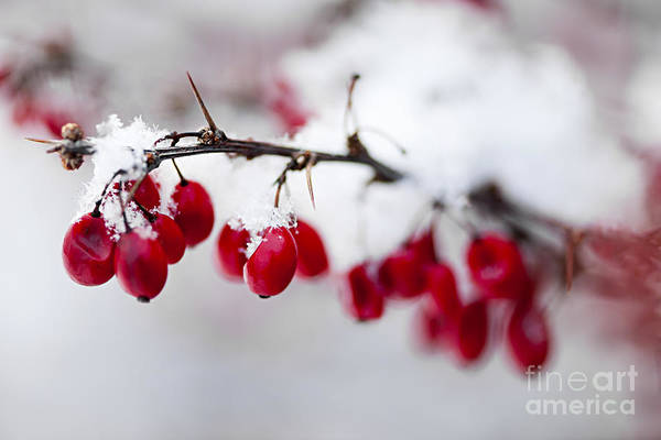 Berries Print featuring the photograph Red Winter Berries Under Snow by Elena Elisseeva