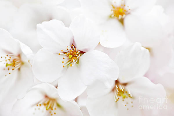 Apple Art Print featuring the photograph Apple Blossoms by Elena Elisseeva