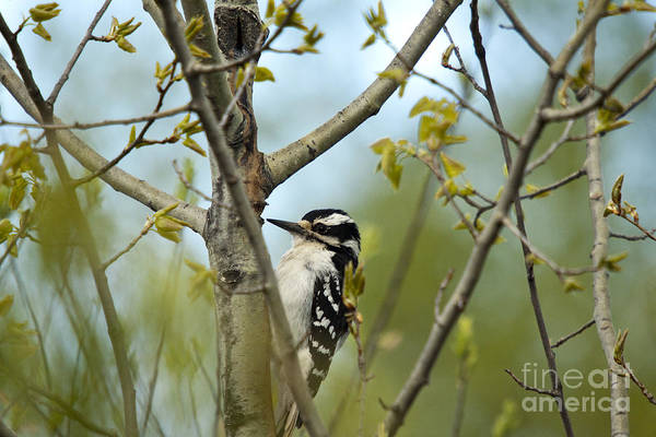 Animal Art Print featuring the photograph Hairy Woodpecker by Linda Freshwaters Arndt