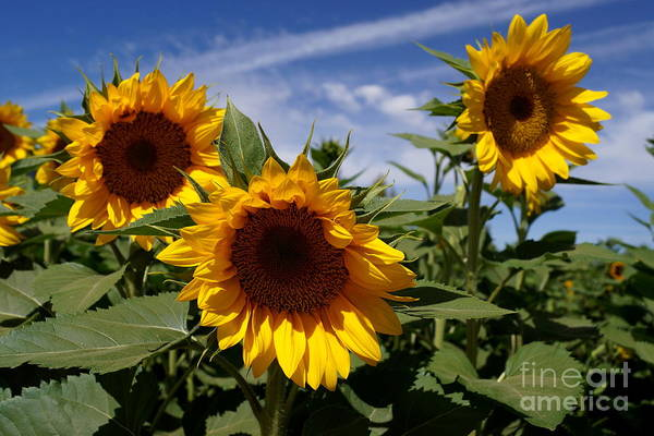 Agriculture Print featuring the photograph 3 Sunflowers by Kerri Mortenson