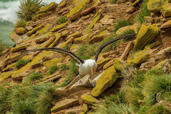 Albatross Art Print featuring the photograph South America, Falkland Islands by Jaynes Gallery
