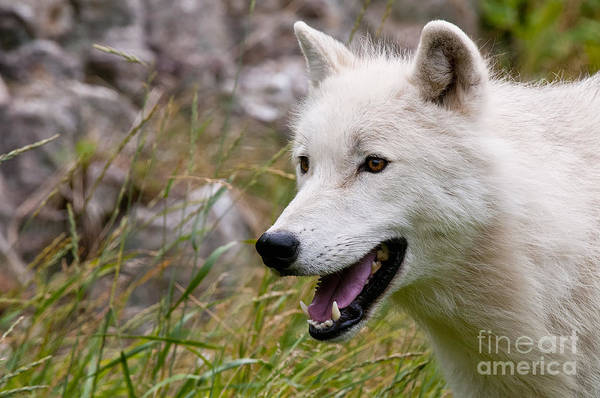 Arctic Wolf Photography Art Print featuring the photograph Arctic Wolf by Wolves Only