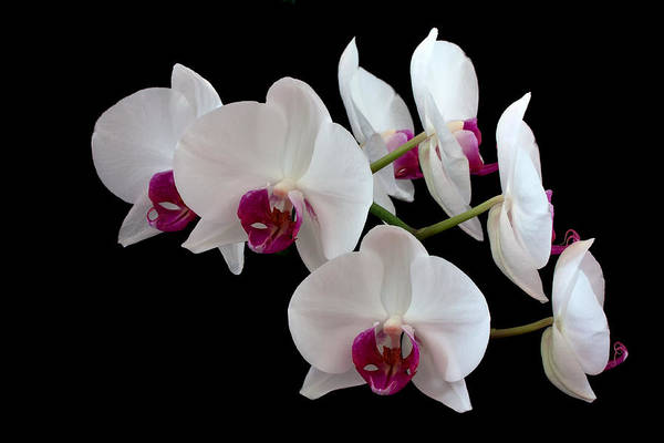 Orchid Art Print featuring the photograph White Orchids by Shirley Mitchell
