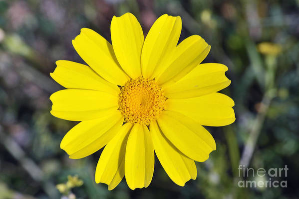 Chrysanthemum Coronarium; Glebionis Coronaria; Crown Daisy; Daisy; Daisies; White; Yellow; Flower; Wild; Plant; Spring; Print; Photograph; Photography; Springtime; Season; Nature; Natural; Natural Environment; Natural World; Flora; Bloom; Blooming; Blossom; Blossoming; Color; Colour; Colorful; Colourful; Earth; Environment; Ecological; Ecology; Country; Landscape; Countryside; Scenery; Macro; Close-up; Detail; Details; Esthetic; Esthetics; Artistic; Flowers Art Print featuring the photograph Crown Daisy Flower by George Atsametakis