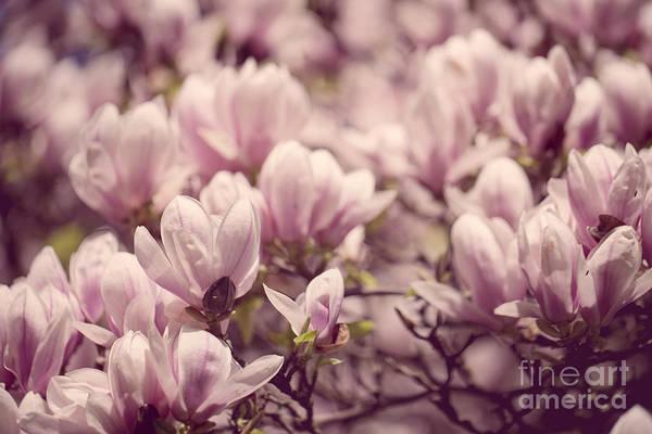 Magnolia Art Print featuring the photograph Magnolia Flowers by Nailia Schwarz