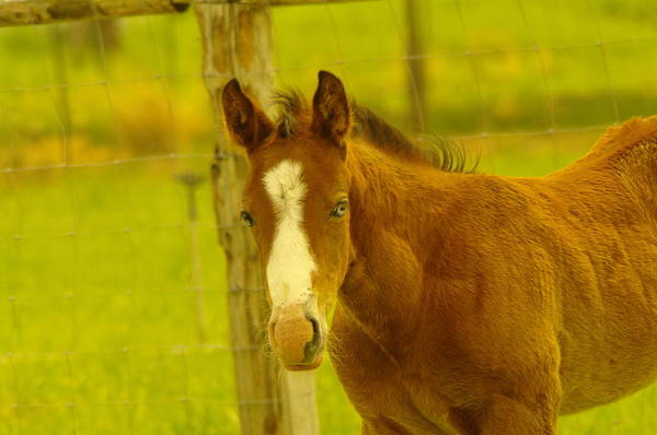 Equine Print featuring the photograph A Blue Eyed Colt by Jeff Swan
