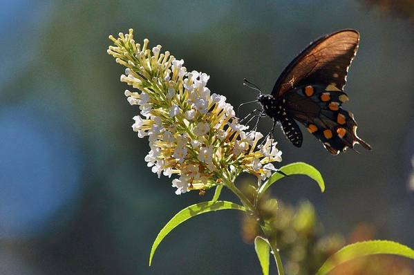 Butterfly Art Print featuring the photograph A Feast Of Nectar by Marc Mesa