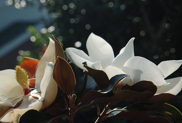 Magnolia Art Print featuring the photograph A Sea Of Magnolias by Suzanne Gaff