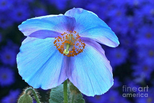 Single Himalayan Blue Poppy Art Print featuring the photograph Aglow In Blue Wide View by Byron Varvarigos
