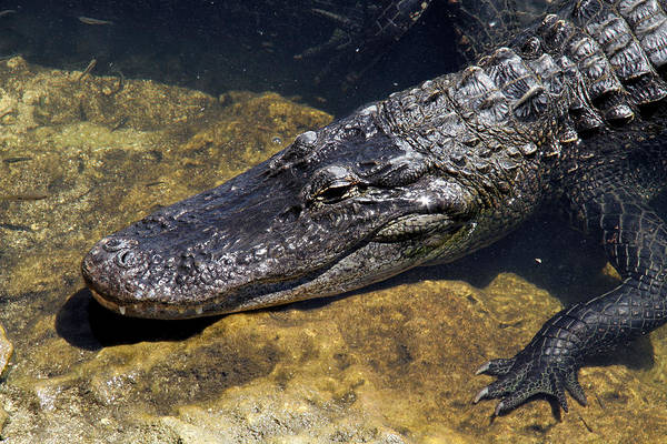 American Alligator Art Print featuring the photograph American Alligator by Doris Potter