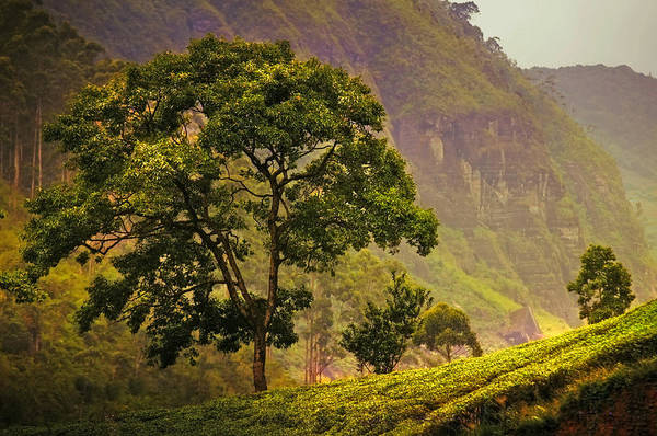Sri Lanka Art Print featuring the photograph Among The Mountains And Tea Plantations. Nuwara Eliya. Sri Lanka by Jenny Rainbow