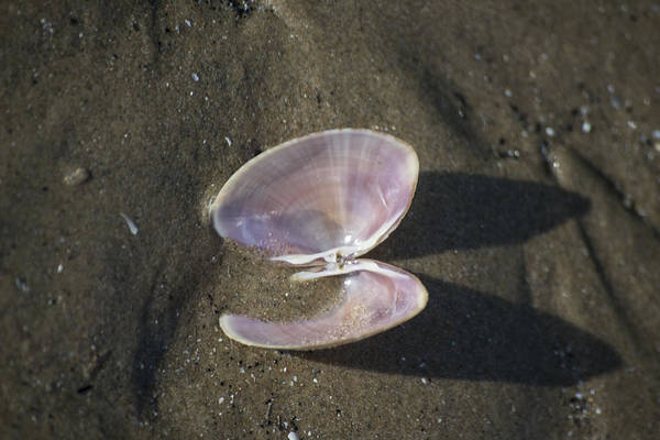 Sea Shell Art Print featuring the photograph Angel Wings by Spikey Mouse Photography