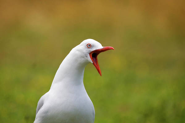 Larus Scopulinus Art Print featuring the photograph Angry Red Billed Gull by Dave Walsh