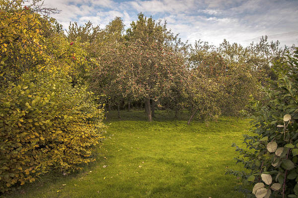 Orchard Print featuring the photograph Apple Orchard by Amanda Elwell