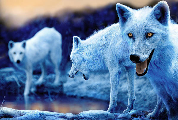 Wolf Art Print featuring the photograph Arctic White Wolves by Mal Bray